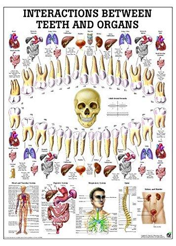 Ruediger Anatomie PO75e Relationship Teeth-Organs Tafel, 50 cm x 70 cm